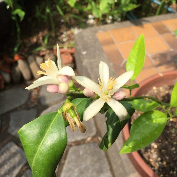 6月26日に撮影したレモンの花